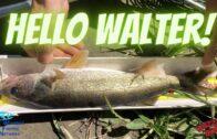 Walleye Fishing Red Deer River
